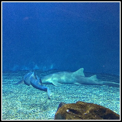 sharks sleeping
